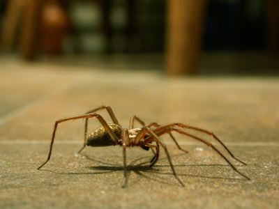 Pest-Control-Spiders-House-Spider