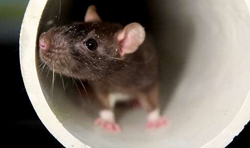 rodent-control-for-businesses